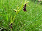 Ophrys insectifera3